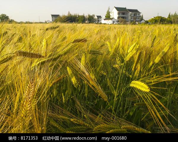 乡村金色麦穗图片