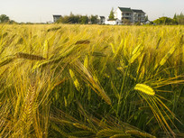 乡村金色麦穗