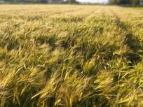 夕阳一片大麦地