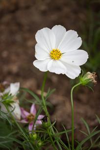 白花波斯菊