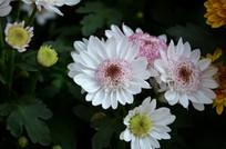 绽放的雏菊