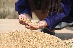 丰收了的小麦