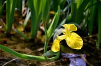 黄色的芦苇花