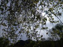 帘子一样的树枝图片