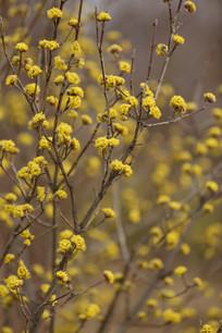 金色的茱萸花