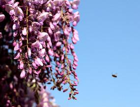 开放的紫藤花