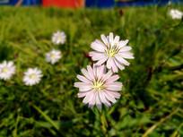阳光下漂亮的小雏菊