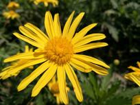阳光下绽放的美丽黄菊花