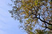 蓝色天空下的黄叶大树