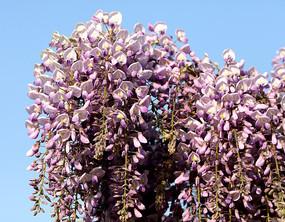 盛开的紫藤花