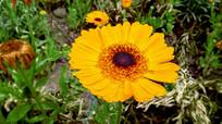 一朵金黄的万寿菊
