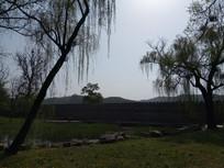 岸边的两棵大柳树图片