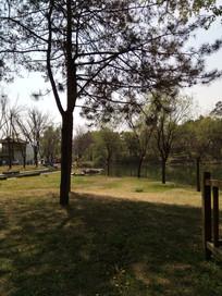 草地上的松树