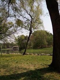 大柳树图片