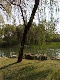 河边草地上的柳树图片