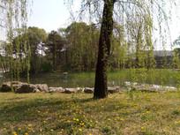 河边树下的一片蒲公英