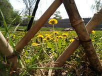 篱笆里面的蒲公英