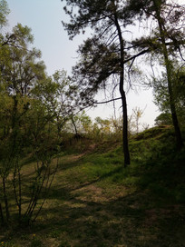 山坡上的松树图片