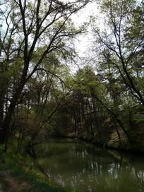 小河上面的大树
