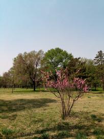 草的上的榆叶梅图片