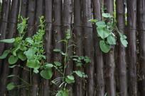 长青叶的联排木桩背景