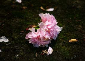掉在地方的樱花