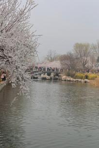 河岸盛开的樱花