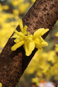金色的连翘花