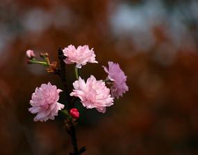 开得正艳的樱花