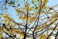 蓝天下的黄色树枝