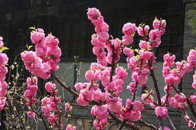 盛开的红色桃花树枝