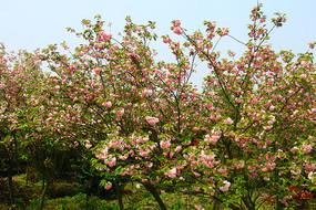 一片樱花树林