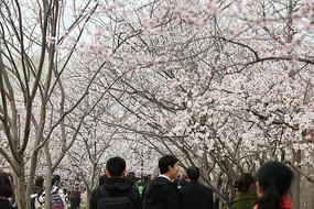 绽放的樱花赏花林
