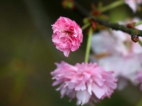 正待盛开的樱花