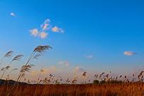 傍晚的蓝色天空与芦苇
