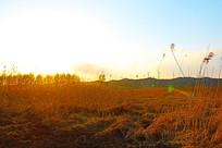 逆光中的金色苇草
