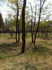 蒲公英边的大树图片