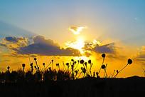 夕阳光芒下干枯的花朵