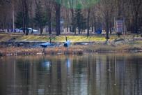 湖边戏水的丹顶鹤