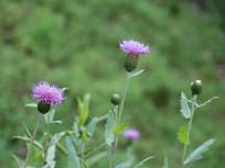美丽的刺儿菜花朵