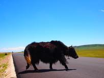 健壮凶猛的牦牛