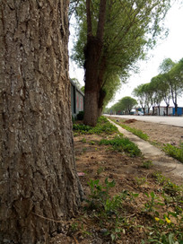 路旁的大树图片