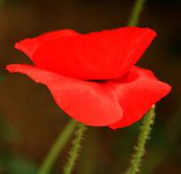 红色花瓣图片