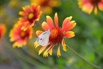 蝴蝶落在观赏小菊花上面