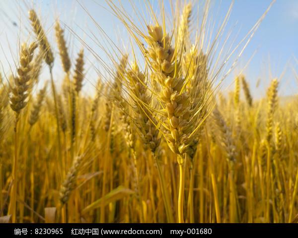 丰收麦穗图片