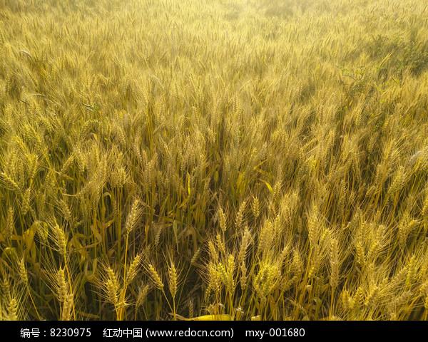金色麦田地图片