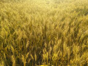 金色麦田地