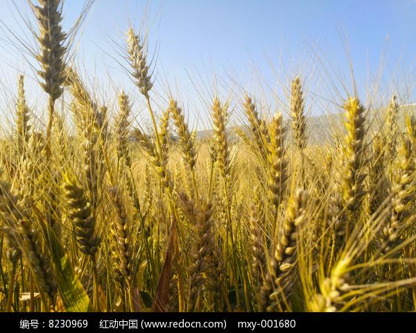 蓝天金色麦穗图片