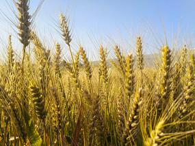 蓝天金色麦穗