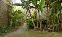 路边的芭蕉树
